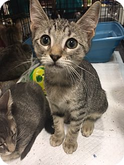 Domestic Shorthair Kitten for adoption in Boynton Beach, Florida - Meg