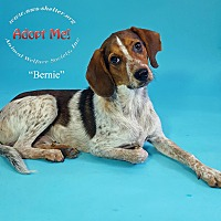 Adopt A Pet :: Bernie - New Milford, CT