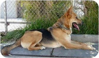 German Shepherd Dog/Labrador Retriever Mix Dog for adoption in Los Angeles, California - Richie von Gardiner - CHARMER!