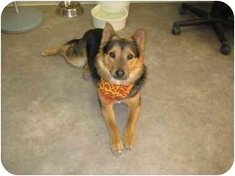 Corgi Mix Dog for adoption in Rock Springs, Wyoming - Gamble