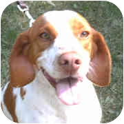 Brittany Dog for adoption in Odenton, Maryland - GUNTHER