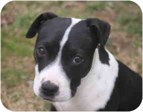 Terrier (Unknown Type, Medium)/American Bulldog Mix Puppy for adoption in Derry, New Hampshire - Corie