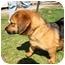 Photo 4 - Dachshund/Labrador Retriever Mix Dog for adoption in Mahwah, New Jersey - Gabriella