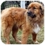 Photo 2 - Golden Retriever/Chow Chow Mix Dog for adoption in Overland Park, Kansas - Maggie