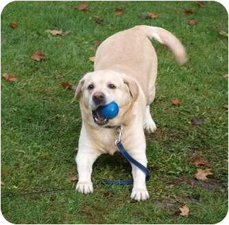 Labrador Retriever Dog for adoption in Toronto/Etobicoke/GTA, Ontario - Nikita