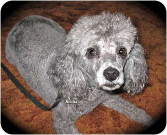 Poodle (Miniature) Dog for adoption in Encino, California - Andy