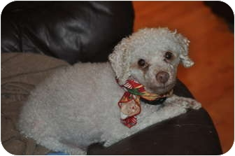 Poodle (Miniature) Mix Dog for adoption in Wasilla, Alaska - Toby