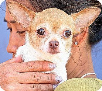Chihuahua Dog for adoption in Berkeley, California - Charlotte