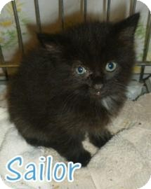 Domestic Mediumhair Kitten for adoption in Georgetown, South Carolina - Sailor