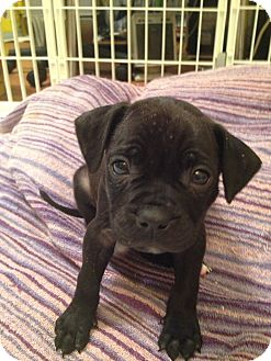 Boston Terrier/Pug Mix Puppy for adoption in waterbury, Connecticut - Snickers