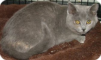 American Shorthair Kitten for adoption in Chattanooga, Tennessee - Rosalie
