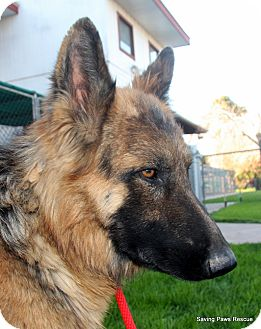 German Shepherd Dog Dog for adoption in Phoenix, Arizona - Godzilla