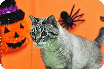 Siamese Cat for adoption in Houston, Texas - Baby