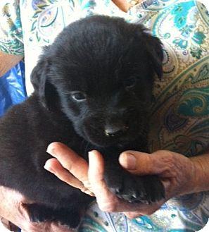 Golden Retriever/Labrador Retriever Mix Puppy for adoption in Nuevo, California - Gable