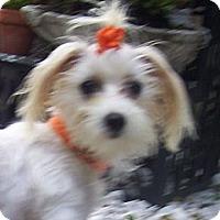 Adopt A Pet :: orange bow - CAPE CORAL, FL