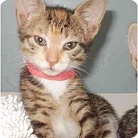 Adopt A Pet :: Athena - Maywood, NJ