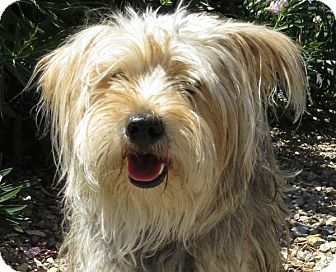 Silky Terrier Mix Dog for adoption in Las Vegas, Nevada - Banjo