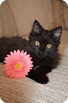 Domestic Mediumhair Kitten for adoption in Clearfield, Utah - Mistletoe