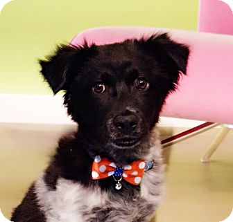 Collie Mix Puppy for adoption in Castro Valley, California - Fluffy