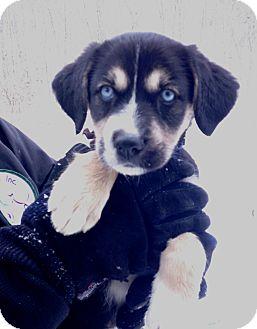 German Shepherd Dog Mix Puppy for adoption in Pleasant Plain, Ohio - Icicle