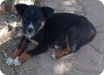 Terrier (Unknown Type, Small) Mix Puppy for adoption in Tucson, Arizona - Scout