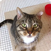 Domestic Mediumhair Cat for adoption in Indianapolis, Indiana - Mr. Socks