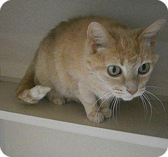 Domestic Shorthair Cat for adoption in Cheboygan, Michigan - Basha