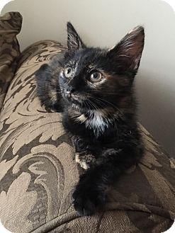Domestic Shorthair Kitten for adoption in Homewood, Alabama - Twix