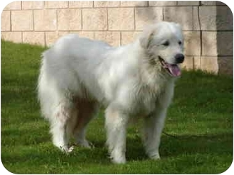 Great Pyrenees Dog for adoption in Kyle, Texas - RANDOLPH