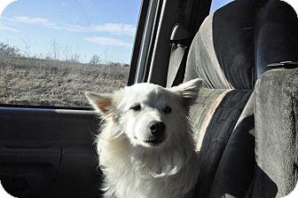 American Eskimo Dog Puppy for adoption in Sedan, Kansas - Eskimo Joe