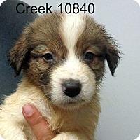 Adopt A Pet :: Creek - Greencastle, NC