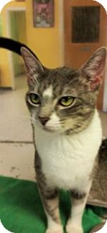 Domestic Shorthair Cat for adoption in Fort Smith, Arkansas - Athena