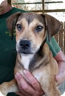 Shepherd (Unknown Type) Mix Puppy for adoption in Gainesville, Florida - Betty Boop