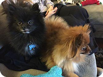 Pomeranian Mix Dog for adoption in Algonquin, Illinois - Toby