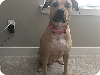 Black Mouth Cur Mix Dog for adoption in Austin, Texas - Lilly