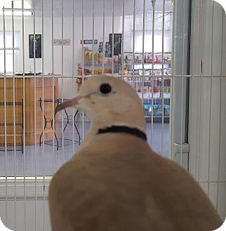 Dove for adoption in Grandview, Missouri - Courtney