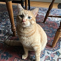 Domestic Shorthair Cat for adoption in Woodbury, Connecticut - Dexter