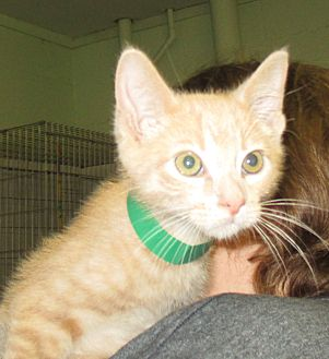 Domestic Shorthair Kitten for adoption in Reeds Spring, Missouri - Noah