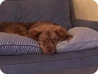 Chow Chow Mix Dog for adoption in Murrells Inlet, South Carolina - YOGI