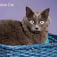 Adopt A Pet :: SHADOW CAT - Santa Fe, NM