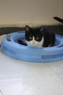 Domestic Shorthair/Domestic Shorthair Mix Cat for adoption in Covington, Louisiana - Ralph