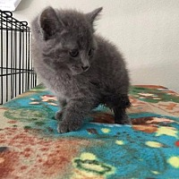 Adopt A Pet :: Sage - Crocker, MO