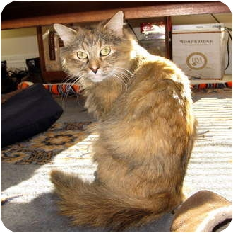 Domestic Mediumhair Cat for adoption in Worcester, Massachusetts - Chewy