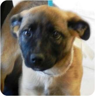 German Shepherd Dog/Newfoundland Mix Puppy for adoption in Oswego, Illinois - J Litter Jasmine