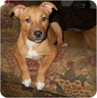 Shepherd (Unknown Type) Mix Puppy for adoption in Conway, New Hampshire - Leroy