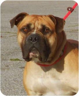 English Bulldog/Boxer Mix Dog for adoption in El Segundo, California - Buck