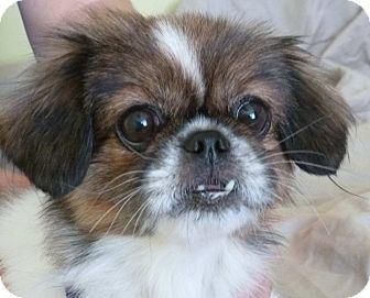 Pekingese Mix Dog for adoption in Philadelphia, Pennsylvania - Honesty
