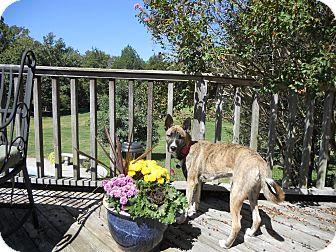 Dutch Shepherd/Collie Mix Puppy for adoption in Greeneville, Tennessee - Kiki