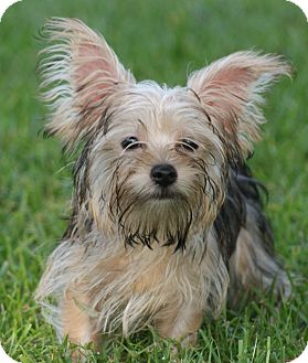 Yorkie, Yorkshire Terrier/Maltese Mix Puppy for adoption in CAPE CORAL, Florida - Evan