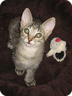 Domestic Shorthair Kitten for adoption in Fountain Hills, Arizona - ISAAC